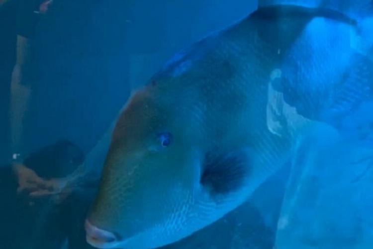 Foto di un pesce balestra nella vasca dell'Acquario di Piombino