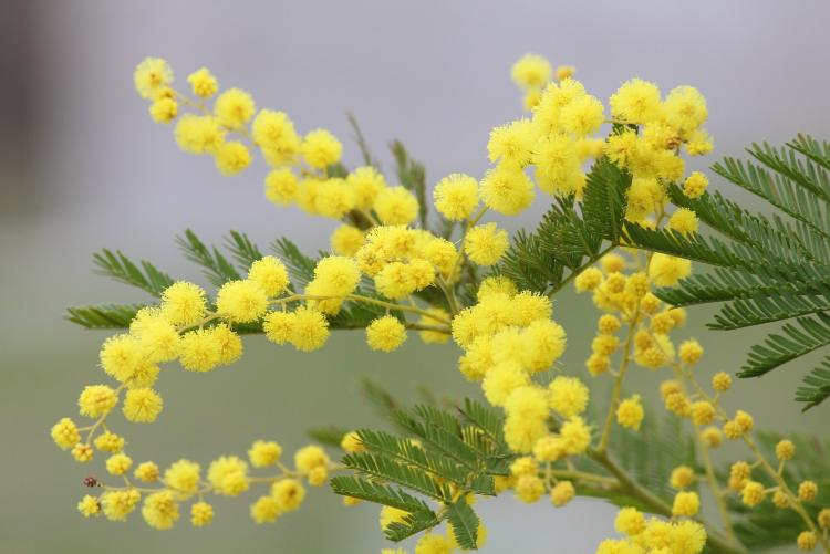 La mimosa fiore simbolo dell'8 marzo
