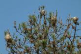 Nidi di processionaria su di un pino